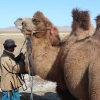 Preparing the Camels for Riding