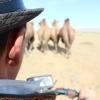 Camel Herding